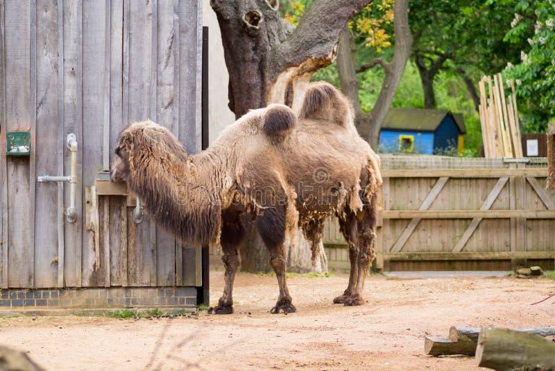Camello en un compuesto en Londres fotos de archivo