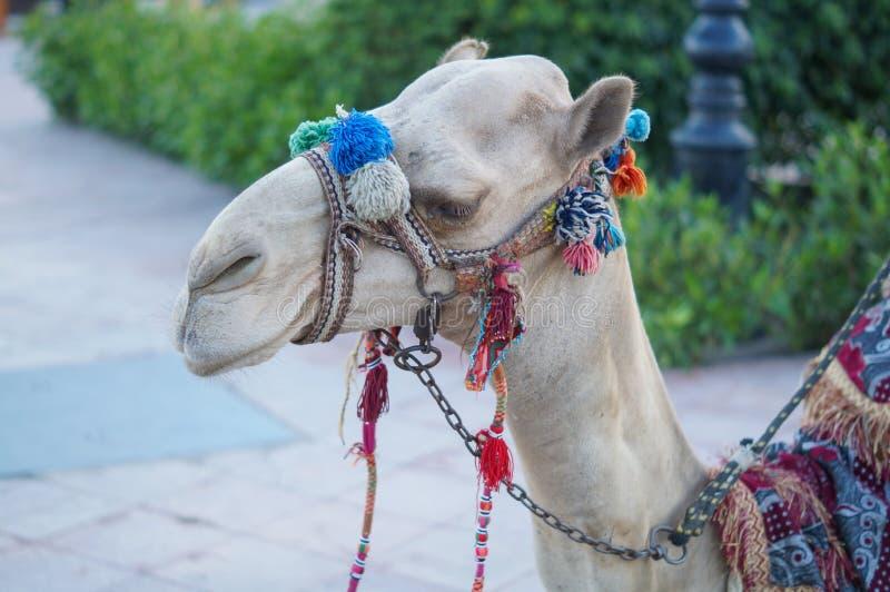 Camello imperturbado en Egipto fotografía de archivo libre de regalías