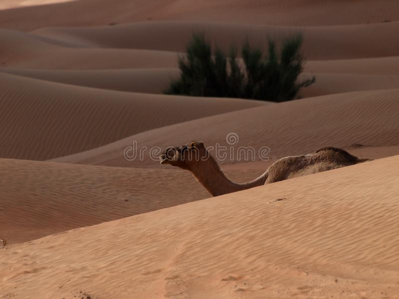 Camello las naves del desierto fotos de archivo