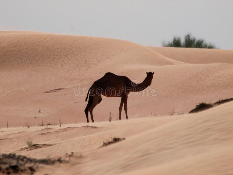 Camello las naves del desierto foto de archivo libre de regalías