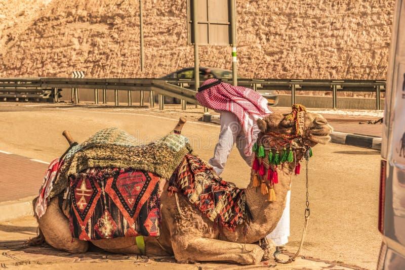 Camello listo para comenzar el viaje Desierto de Judaean imágenes de archivo libres de regalías