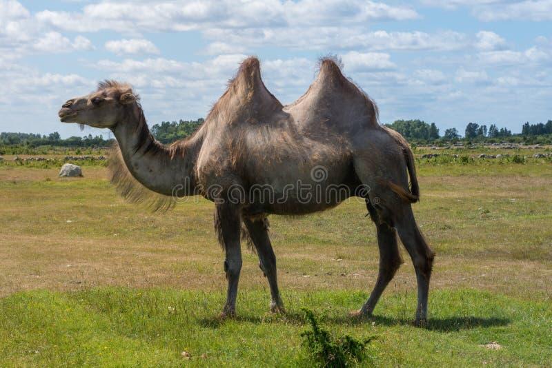 Camello masculino grande que camina en un campo en tiempo hermoso del verano foto de archivo