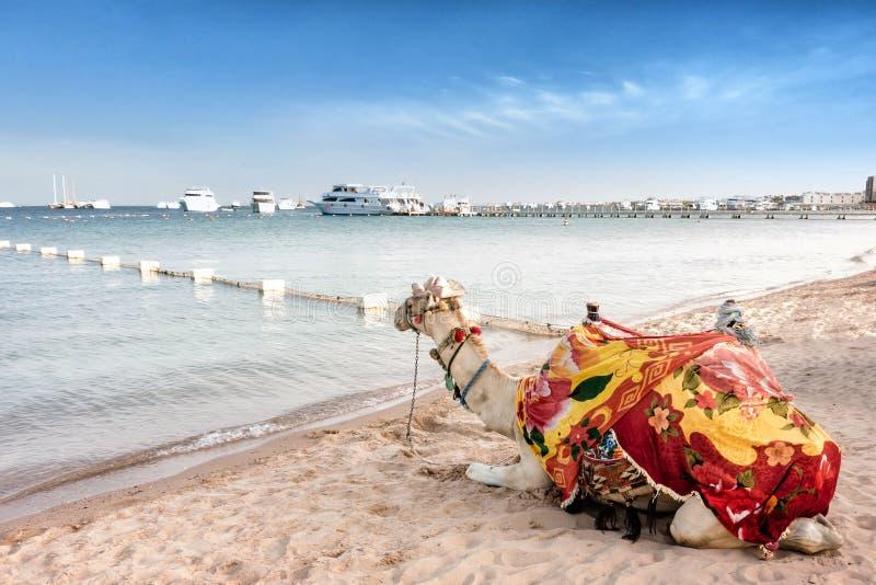 Camello orgulloso que descansa sobre la playa egipcia Dromedarius del Camelus imagen de archivo libre de regalías
