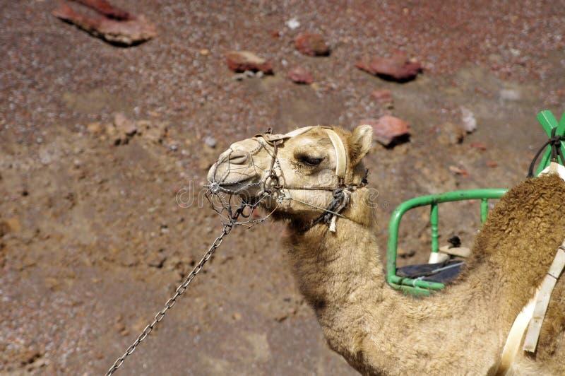 Camello, retrato, parque nacional de Timanfaya, Lanzarote, imágenes de archivo libres de regalías