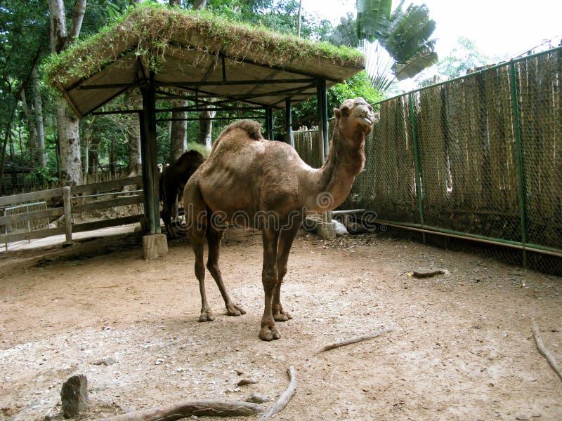 Camello, safari de Zoobic, Subic Bay, Filipinas imagen de archivo libre de regalías