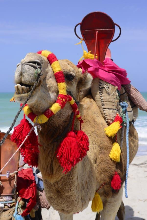 Camello sonriente en la playa colorida de la isla de los flamencos, mar de la turquesa foto de archivo
