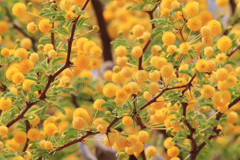 Camello Thorn Blossoms - fondo de la flor salvaje de África - belleza amarilla de oro fotos de archivo