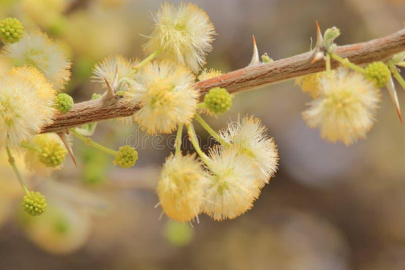 Camello Thorn Flowers - fondo de la flor salvaje de África - primavera de oro imagen de archivo libre de regalías