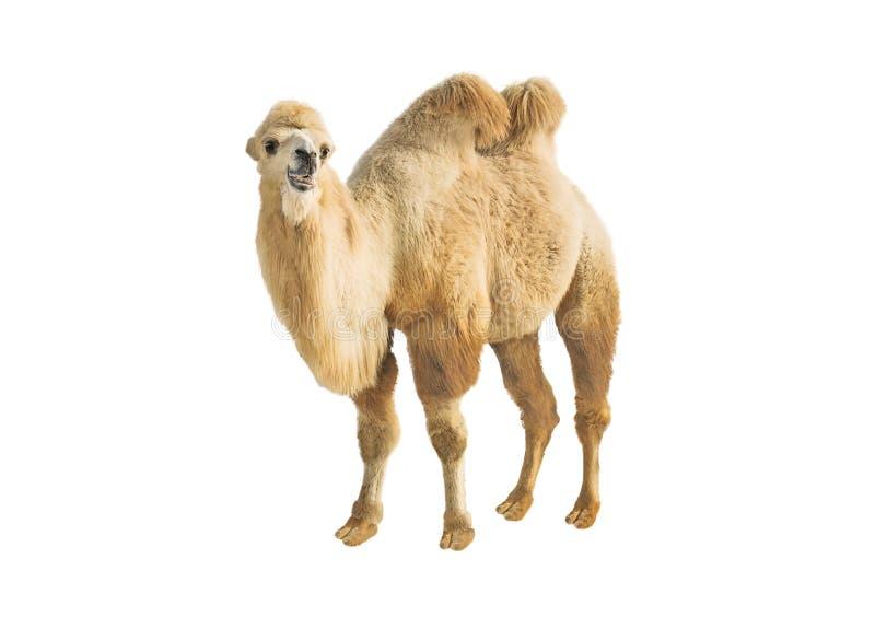 Camello two-humped bactriano aislado en blanco fotos de archivo