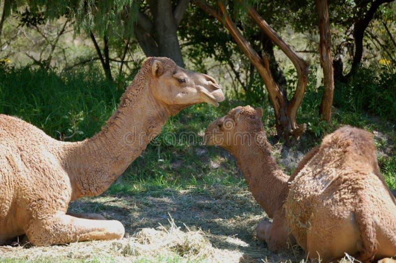 Camello y bebé imágenes de archivo libres de regalías