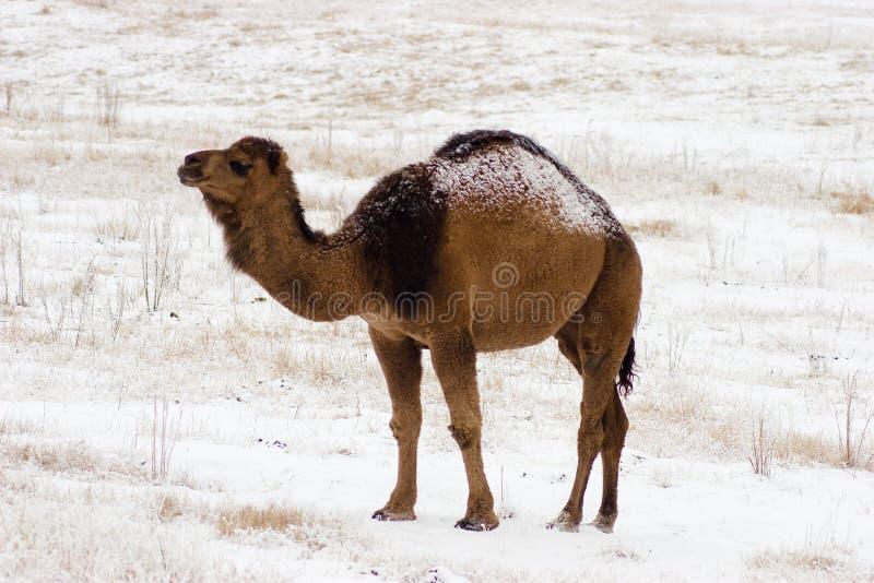 Camello y nieve imágenes de archivo libres de regalías