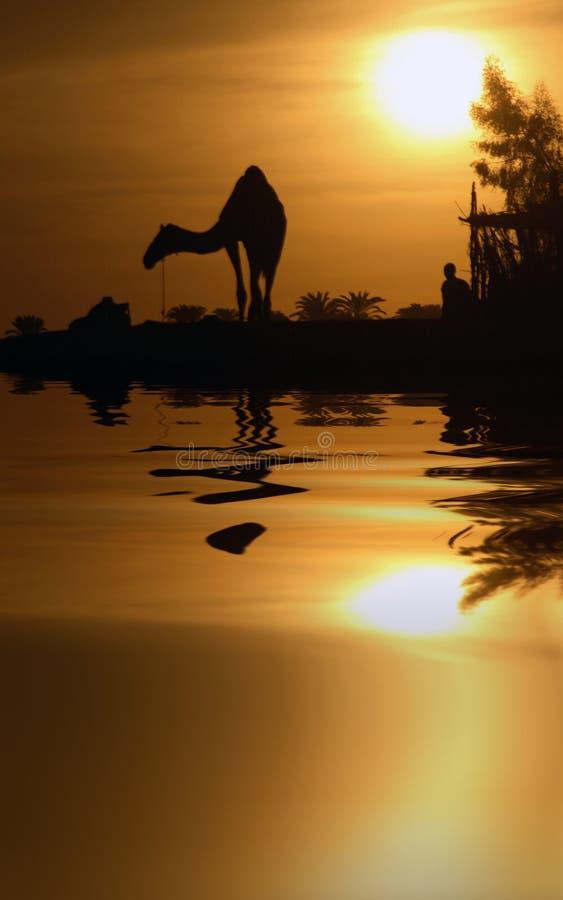 Camello y reflexión imagen de archivo