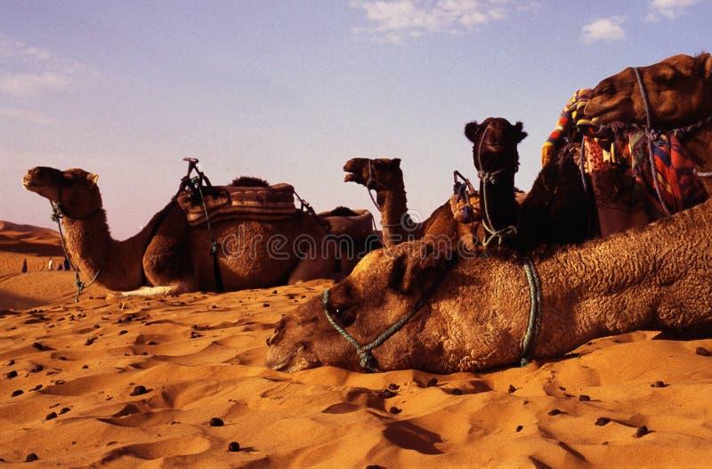 Camellos fotos de archivo libres de regalías
