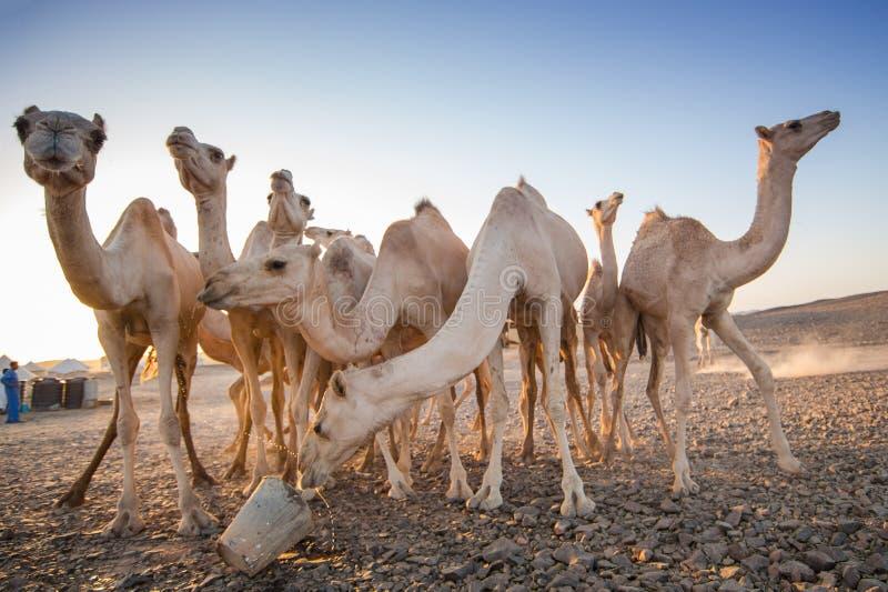 camellos imagen de archivo