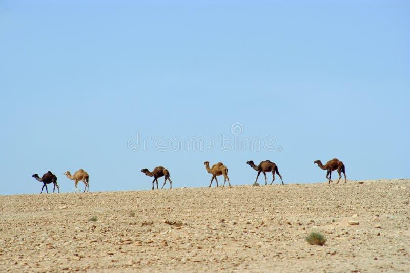 Download Camellos imagen de archivo. Imagen de arabia, majestuoso - 7279987