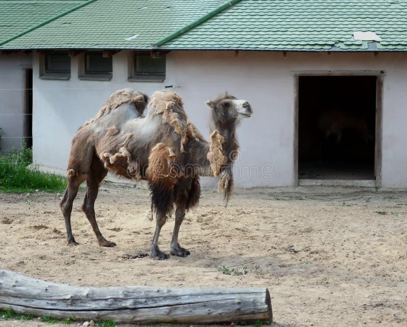 Camellos bactrianos de Onlinewsj en el parque zoológico de Moscú imagen de archivo