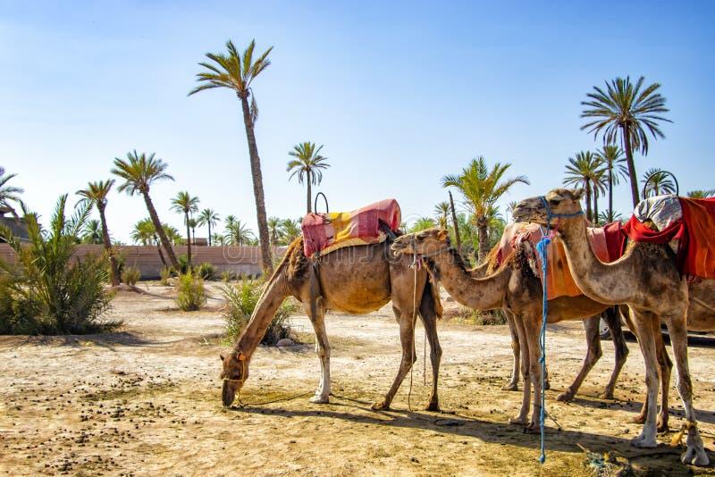 Camellos con las sillas de montar típicas del Berber en un Palmeraie cerca de Marrakesh, Marruecos El desierto del Sáhara se sitú imagen de archivo libre de regalías