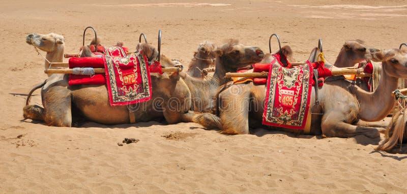 Camellos del desierto en descanso imagen de archivo