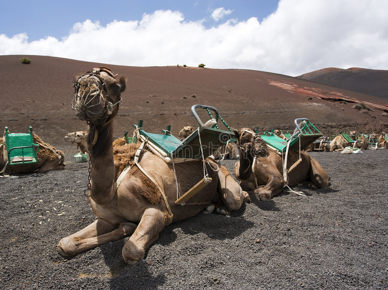 Camellos del montar a caballo que esperan a turistas en Lanzarote imágenes de archivo libres de regalías