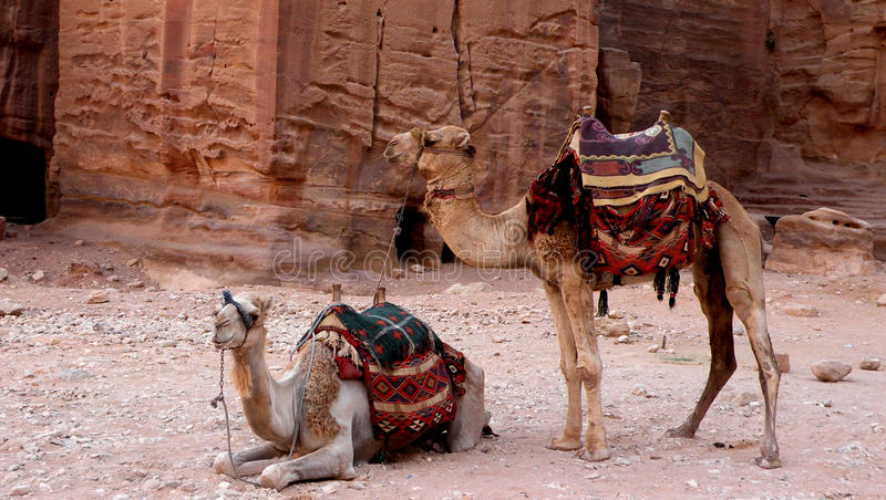 Camellos del petra foto de archivo