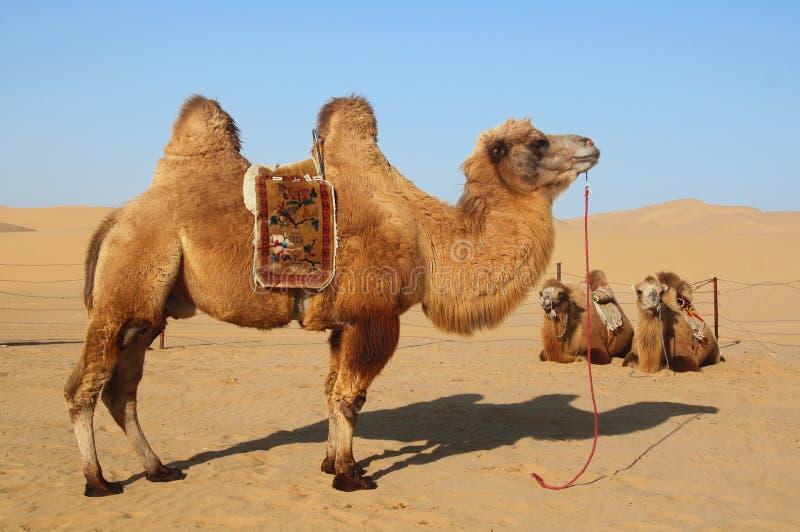 Camellos en desierto fotografía de archivo