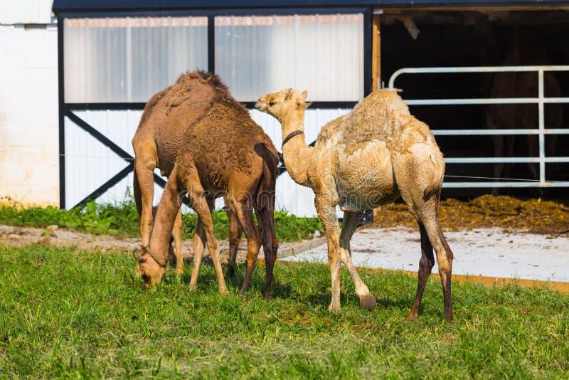 Camellos en el condado de Lancaster imágenes de archivo libres de regalías
