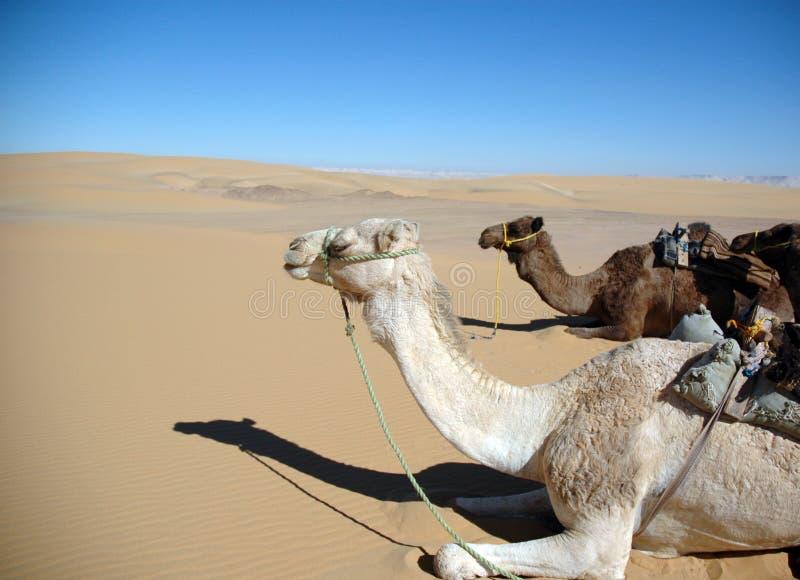 Camellos en el desierto imagenes de archivo