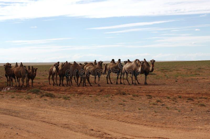 Camellos en el desierto fotografía de archivo