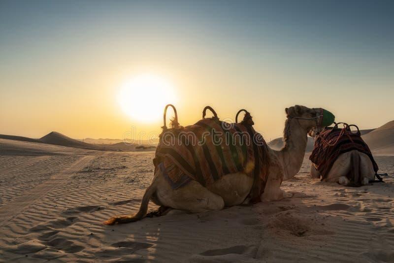 Camellos en el desierto de Abu Dhabi con puesta del sol fotografía de archivo libre de regalías