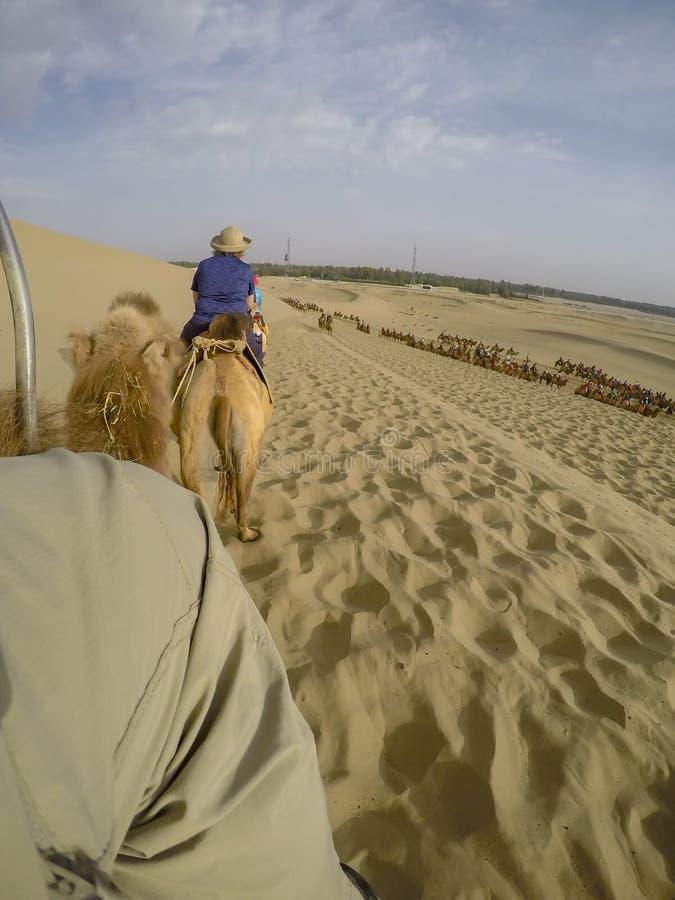 Camellos en el desierto de Taklamakan, China fotografía de archivo