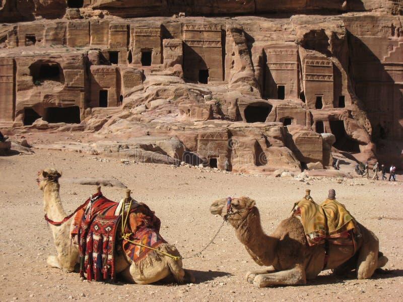 Camellos en el Petra. Jordania imagen de archivo libre de regalías