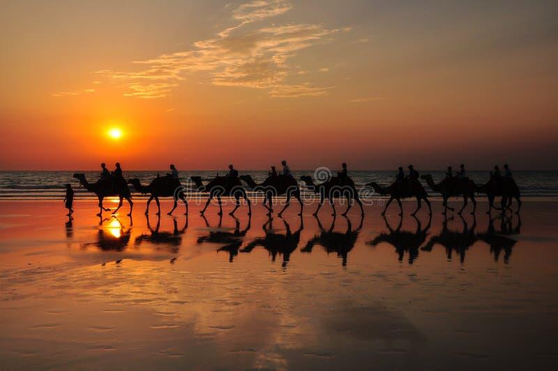 Camellos en la playa por la puesta del sol Broome Australia foto de archivo