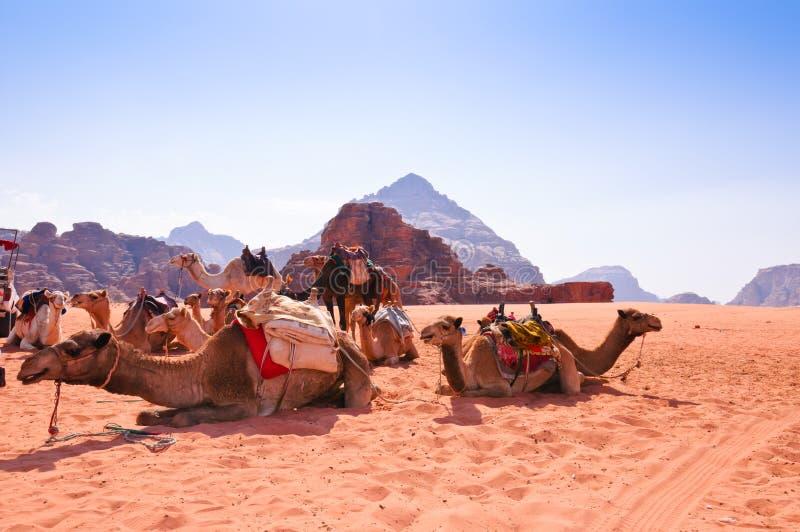 Camellos en ron del lecho de un río seco foto de archivo libre de regalías