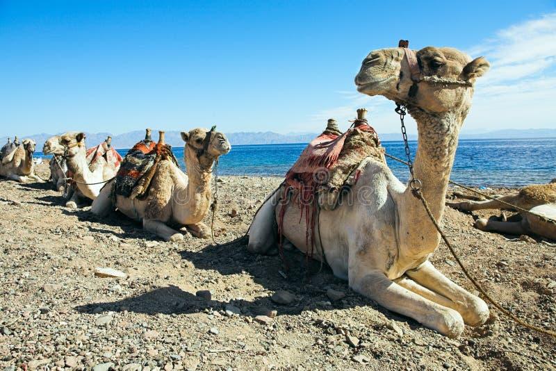 Camellos - naves del desierto imagen de archivo