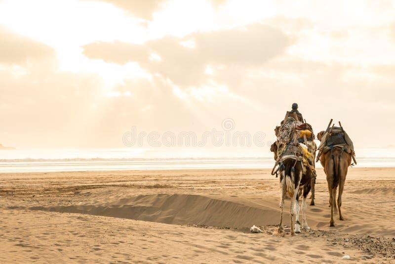 Camellos que caminan en la playa de Essaouira, Morroco en puesta del sol fotografía de archivo libre de regalías