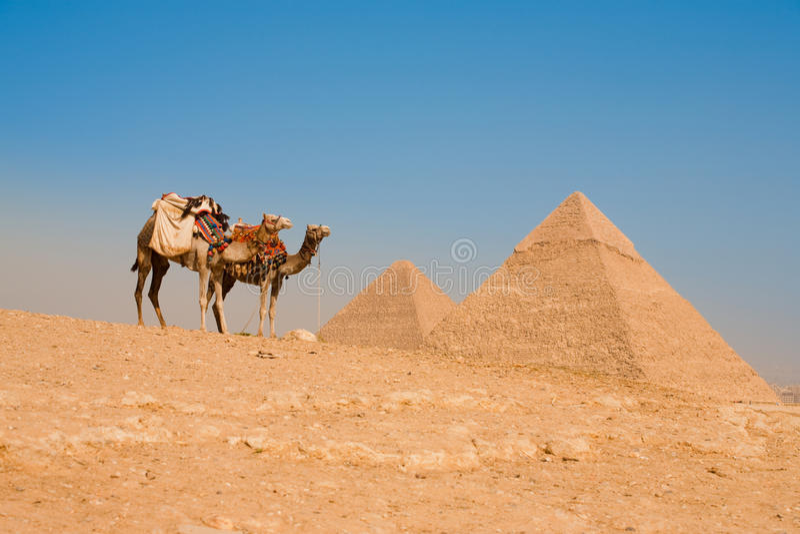 Camellos que esperan las pirámides Cheops Khafre Khufu imagenes de archivo