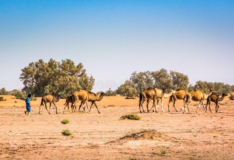 Camellos salvajes en el desierto Sáhara en el ergio Chigaga, Marruecos imagenes de archivo