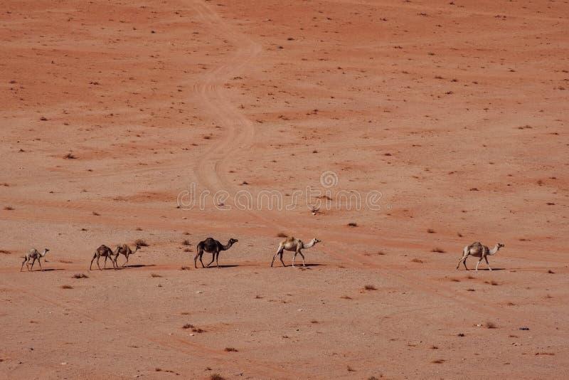 Camellos salvajes en el desierto Wadi Rum Desert foto de archivo libre de regalías