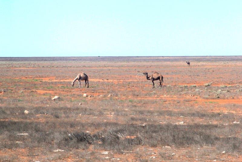 Camellos salvajes en el vacío del DES australiano foto de archivo