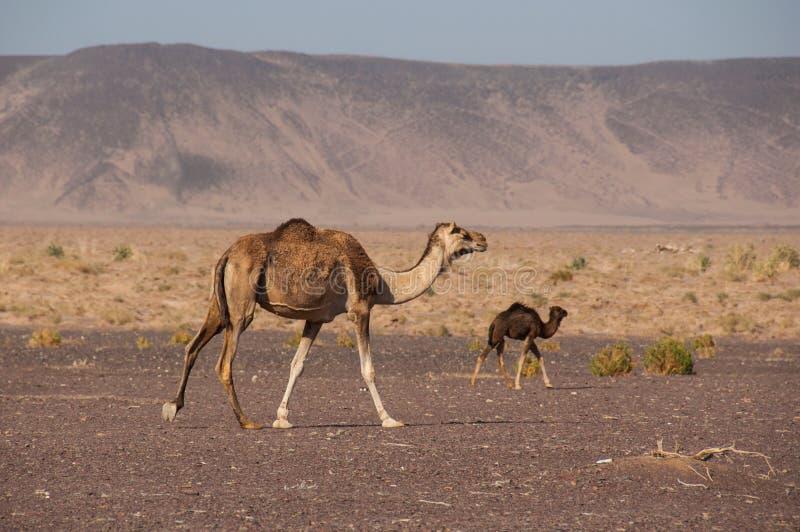 Camellos salvajes en los desiertos de la Arabia Saudita foto de archivo