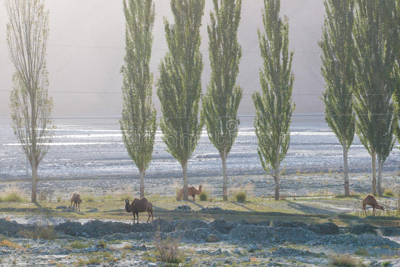 Camellos salvajes en valle de la montaña foto de archivo