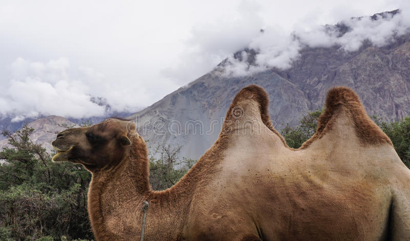 Camellos two-humped raros en el valle de Nubra, la India foto de archivo
