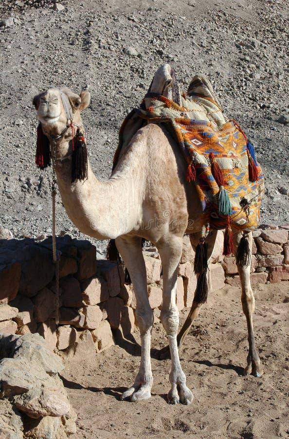 Camelo árabe imagens de stock royalty free