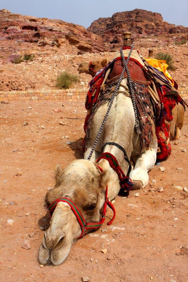 Camelo fotografia de stock royalty free