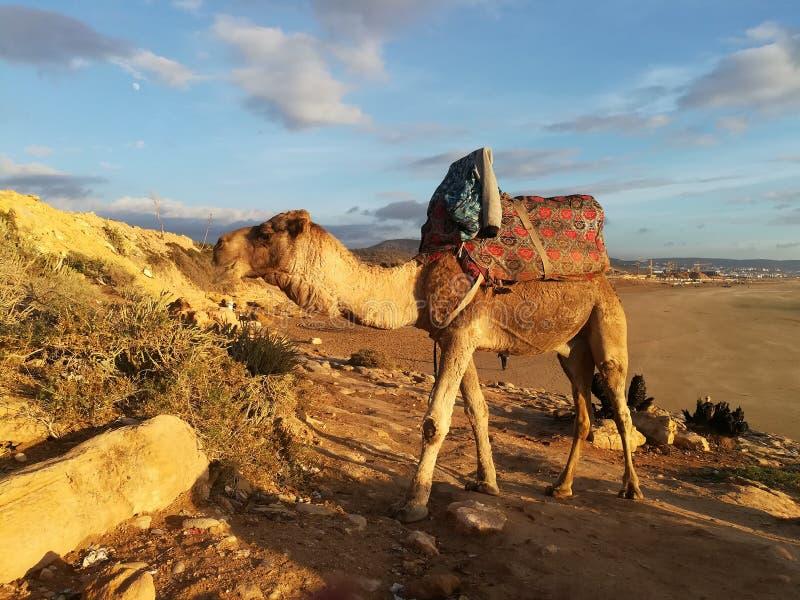 Camelo africano imagens de stock