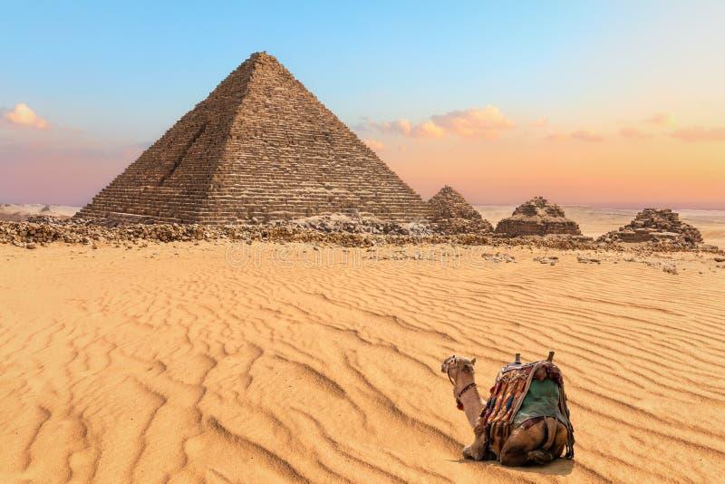 Camelo agradável que descansa perto da pirâmide de Menkaure em Giza, Egito fotografia de stock