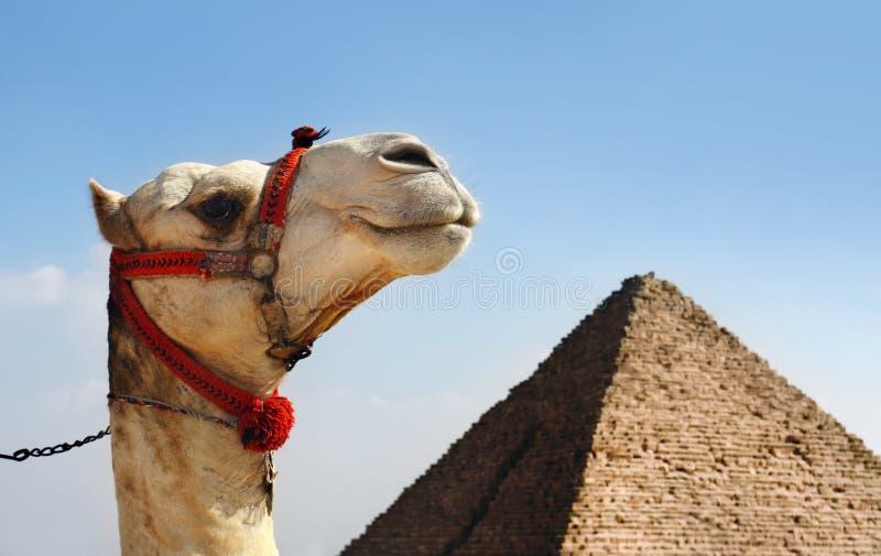 Camelo com uma pirâmide no fundo fotos de stock royalty free