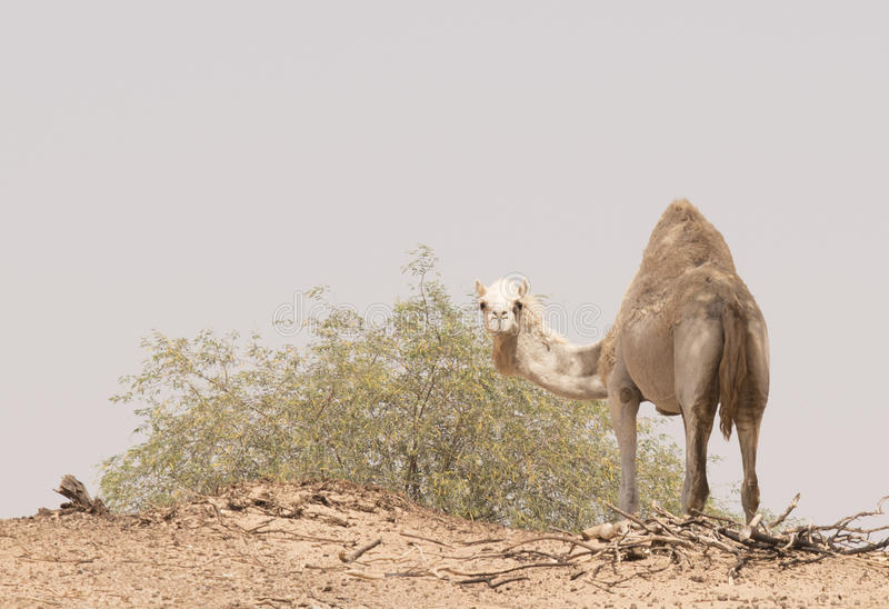 Camelo curioso fotografia de stock royalty free