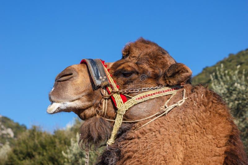 Camelo de combate imagens de stock