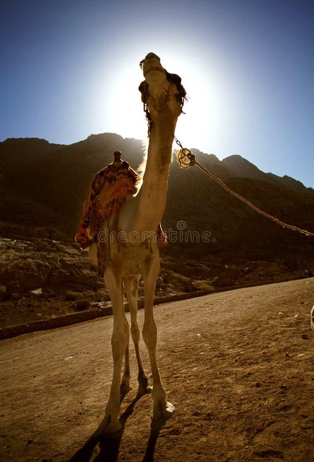 Camelo de Sinia fotografia de stock royalty free